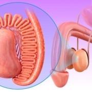 penisin yapısı ve anatomisi